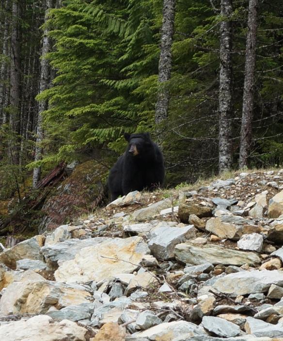 Black Bear - Whistler