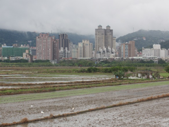 Paddy fields with white birds Taipei