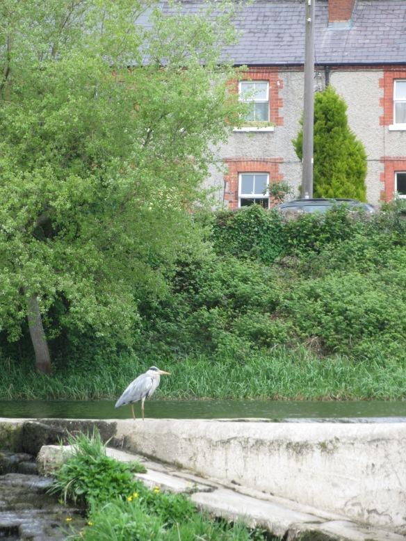Heron Lucan Weir