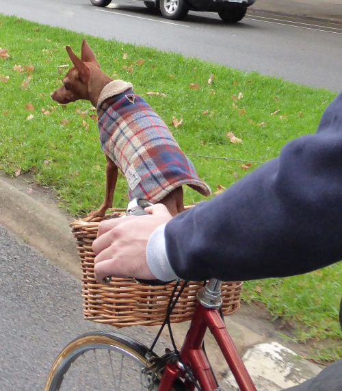 Dog in bicycle basket Adelaide