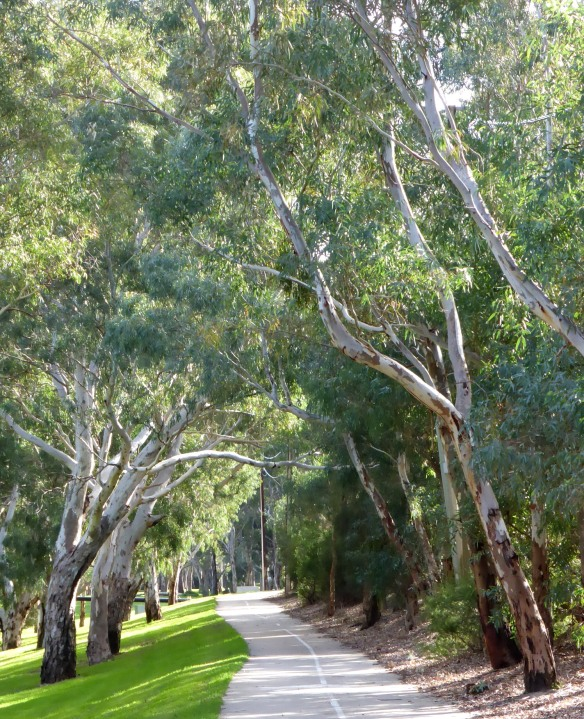 Avenue of Gum trees River Torrens Linear Park Adelaide