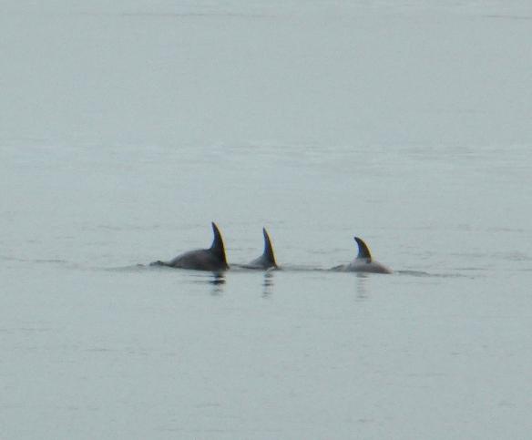 Dolphins Middle Park Beach Melbourne