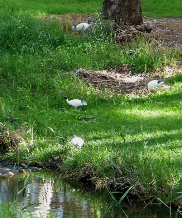 Ibis foraging by River Torrens Adelaide
