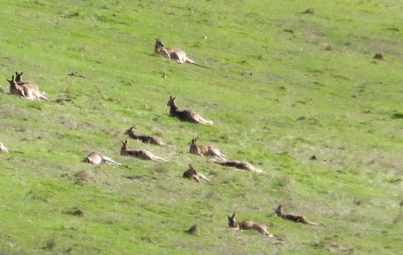 Kangeroos sunbathing at Yarrambat Melbourne