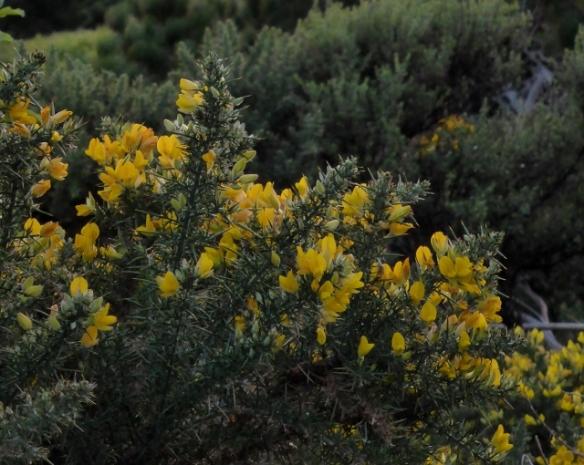 Gorse flowers on Bluff Hill New Zealand
