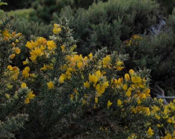 Gorse flowers on Bluff Hill New Zealand