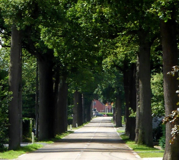 Tree avenue leaving the Hoge Kempen national park